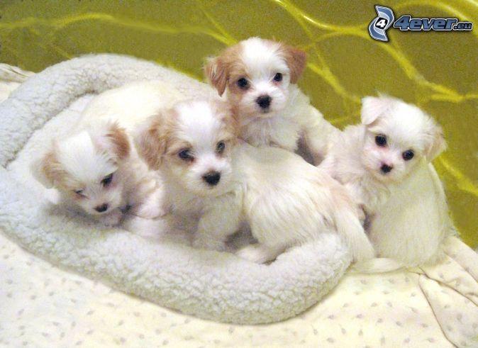 Havaneser, cute puppy ♥♥♥
