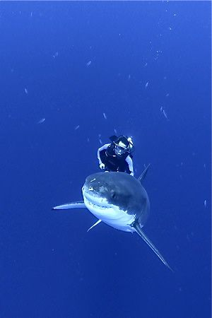 Outfitter lets clients swim with Great White Sharks. Why?