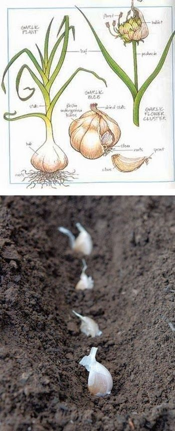 Gardening world garlic planting