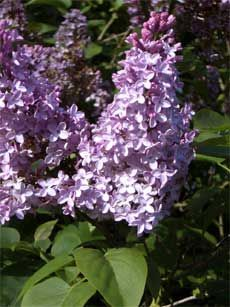 SOON TIME for TRIMMING!!!!!  pruning lilac bushes is IMMIDEATELY after their flowering has ceased. This allows new shoots plenty of time to develop the next season of blooms. Pruning lilacs too late can kill young developing buds. If you are pruning lilac trees or shrubs entirely to within inches of the ground, it is best to do so in early spring. New shoots will develop during the regular growing season as long as there are a few healthy shoots left. link HOW TO PRUNE!!!
