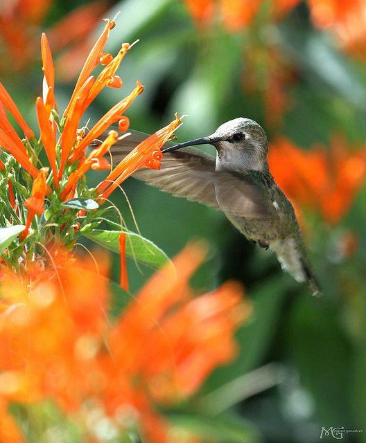 Hummingbird ~ Palm Desert, California ~ By Marcie Gonzalez - Ils se nourrissent également d'insectes qu'ils capturent au vol où dans les fleurs qu'ils visitent pour le nectar. Ces insectes leur sont indispensables pour constituer leur réserve de protéines.