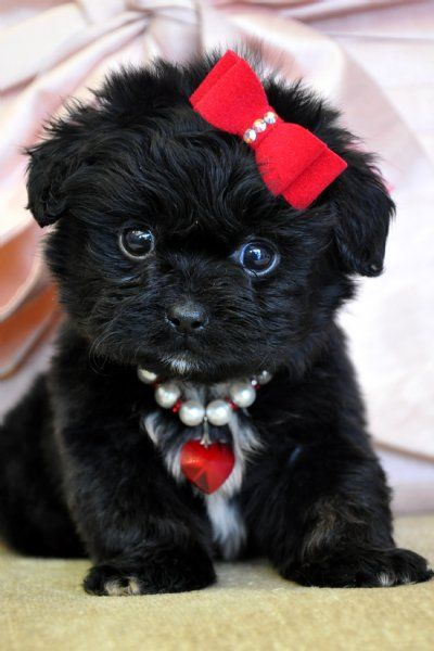 Teacup Peekapoo Puppy. I want a doggie I can dress up like this, lol!