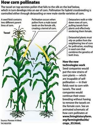 How Corn Pollinates by Pioneer Hi-Bred via the Des Moines Register: Detasseling is a grueling, but well paid summer job for Iowa teens during a couple weeks of July and is almost a rite of passage. This week, Pioneer received US Department of Agriculture approval to develop a non-transgenic male sterile female parent. Such a plant would eliminate the need for detasseling. #Corn #Detasseling #Iowa