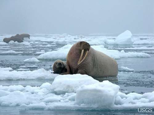 According to charity Defenders of Wildlife, female walrus typically: �leave their young in safety on the sea ice while they forage, then haul out to nurse their calves.� | This One Photo Perfectly Sums Up Why Climate Change Is Real
