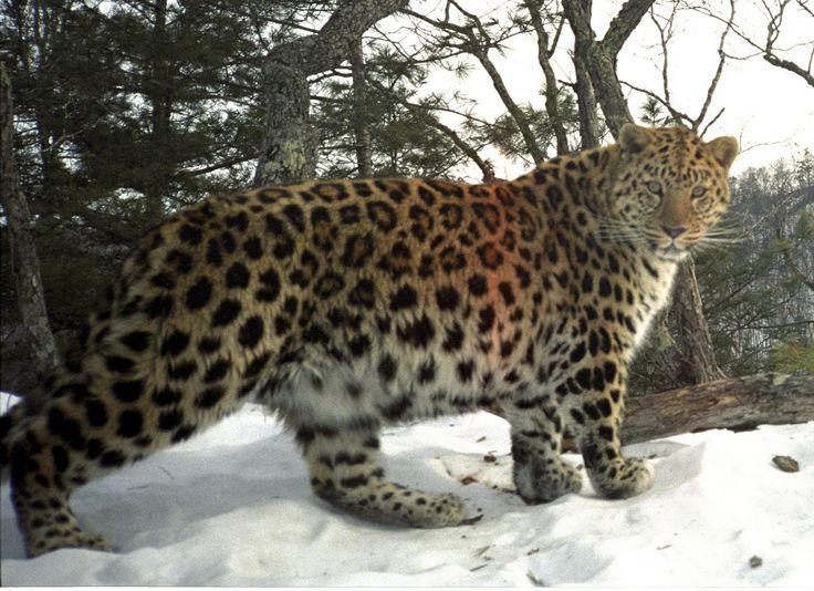 Image detail for -Amur Leopard