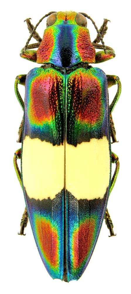 Chrysochroa toulgoeti Descarpentries 1982 (Buprestidae) Thailand, Lampang, Wangnear