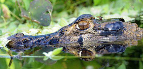 Ecuador - Amazone - Nationaal Park Yasuní - jungle - regenwoud