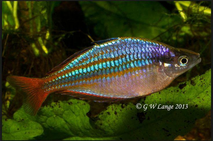 A spectacular wapoga rainbowfish wish list fish for Freshwater rainbow fish