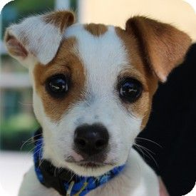 Virga - Jack Russell Terrier Mix