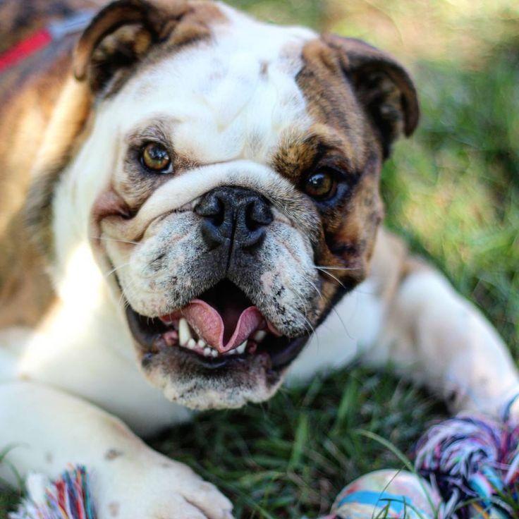 Happy Smiley Bulldog