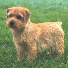 "SMALLEST DOG BREEDS <> Norfolk Terrier PART 1 •  General Appearance The Norfolk Terrier, game and hardy, with expressive dropped ears, is one of the smallest of the working terriers. It is active and compact, free-moving, with good substance and bone. With its natural, weather-resistant coat and short legs, it is a ""perfect demon"" in the field."