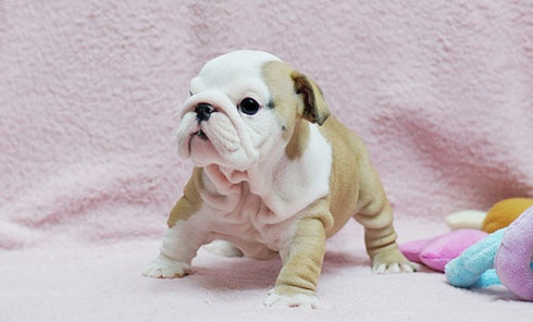 teacup bulldog! This is the dog I want