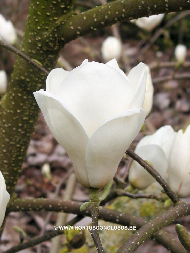 magnolia x soulangeana 39 lennei alba 39 sierboom hortus. Black Bedroom Furniture Sets. Home Design Ideas