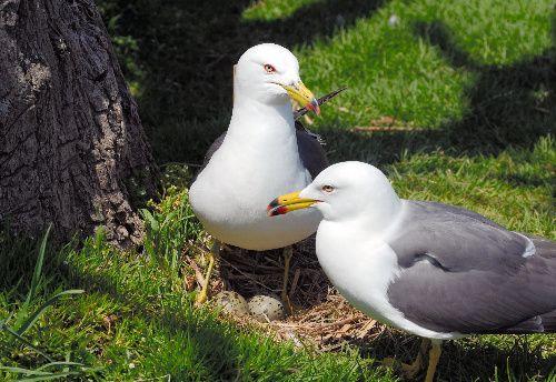 Black-tailed gull(Larus crassirostris)ウミネコ