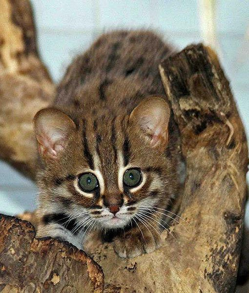Rusty Spotted Cats are one of the world's smallest cats at about 3 to 4 pounds.