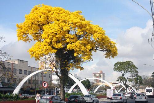 Ipês levam ainda mais beleza à nova Beira-Valão