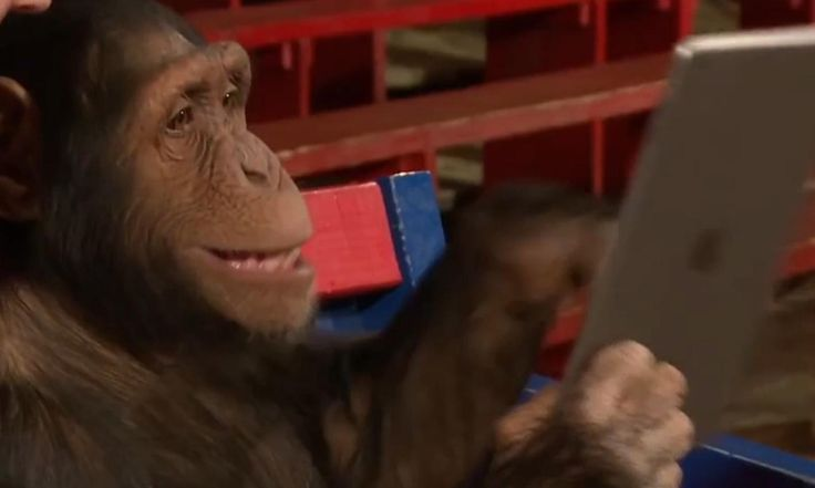 """Video shows three chimpanzees in awe as Simon Pierro, the """"iPad magician"""", performs tricks with an iPad and peanuts"""