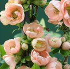 S10 Chaenomeles speciosa 'Geisha Girl' flowering quince Existing deciduous shrub Position: full sun or partial shade Soil: moderately fertile, well-drained Rate of growth: fast-growing Flowering period: March-May Hardiness: fully hardy H: 1.5 m S: 1.5 m  A welcome flush of colour in spring, when their bare twigs are smothered in flowers before the glossy, dark green leaves appear. 'Geisha Girl' flowers later than other varieties and has double, deep apricot-pink flowers March-May,