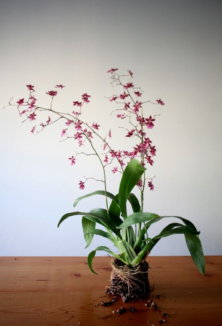 1000 Images About Orchid Plants And Care On Pinterest