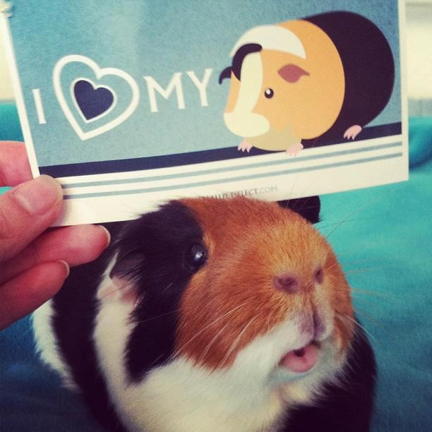 My Guinea Pig Pokey. He won Picture of the Day on Small Pet Select. Cutest guinea pig ever.