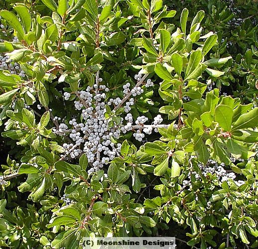 8 Best Images About Bayberry Myrica Cerifera On