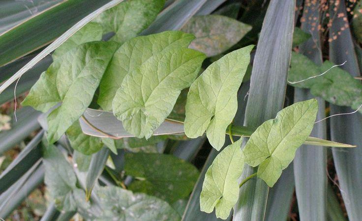 Die Ackerwinde ist ein unerbittlicher Eroberer und schnürt anderen Pflanzen die Luft ab