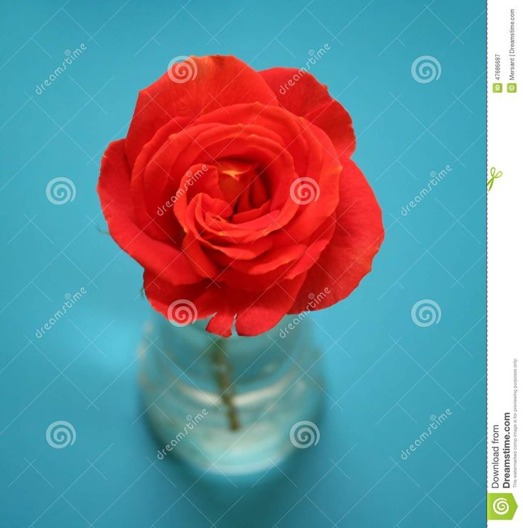 Beautiful orange rose with blue background
