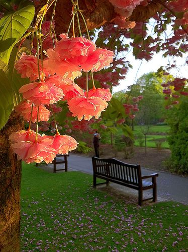 Sunset Blossoms, Cardiff, Wales