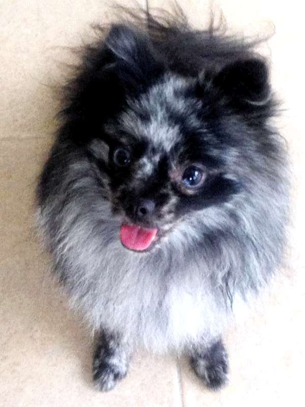 Blue Merle Pomeranian Dog Puppy Hound Dogs Hunting Puppies