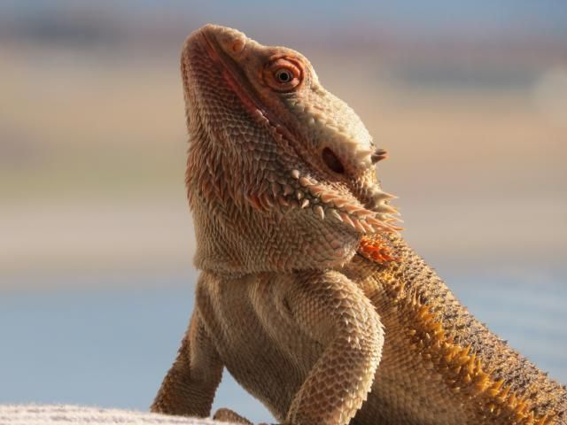 Central Bearded Dragon Lizard Reptile Wallpaper Hd Animals 4k Wallpapers Images Photos And Background In 2021 Bearded Dragon Bearded Dragon Care Lizard