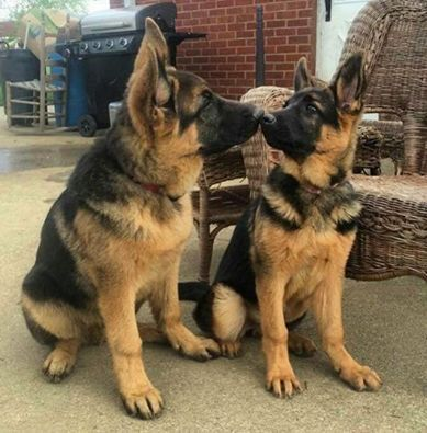 Sweet sibling German shepherd puppies
