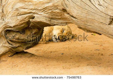 Framed sleeping lion cub by ByBethy, via ShutterStock