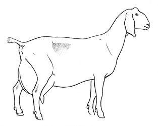 Goat Drawings Rubystar Dairy