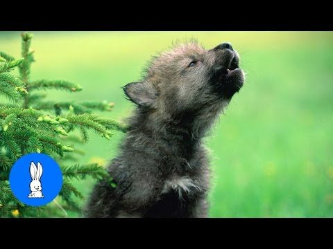 Baby Wolf Pups Howling - CUTEST Compilation - YouTube