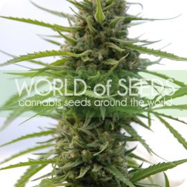 Kilimanjaro - strain - World of Seeds | Cannapedia