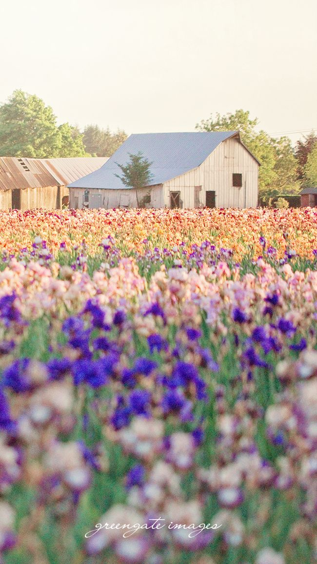 Iris Field And An Old Barn Greengate Images Greengateimages Etsy