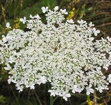 mrkev obecná Daucus carota kvete: červen–srpen výška: (5–)20–70(–150) cm  sušší louky a trávníky, příkopy, podé komunikací, rumiště a jiná místa s nezapojenou vegetací