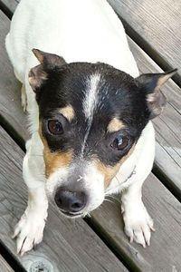 Picture of Tilly, a female Rat Terrier