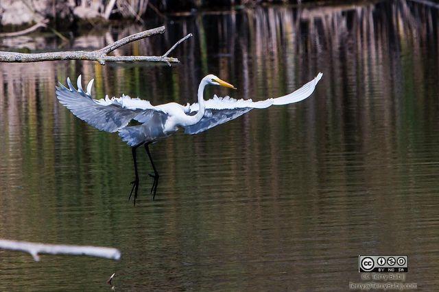 Egret light landing. Birds RBG 10-1-2013 By Terry Babij 1 | Flickr - Photo Sharing!