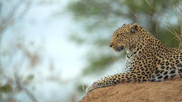 Cleo - One of the Klaserie Leopards
