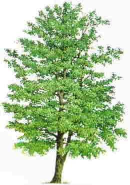 Alder tree: MasculineMoon of Utility; Moon of Efficacy; Moonof Self-GuidanceSpirituality; Teaching; Weather magick; Duty; Mental Prowess;
