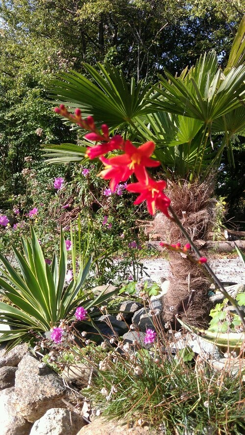 Palms and crocosmia lucifer in the front garden