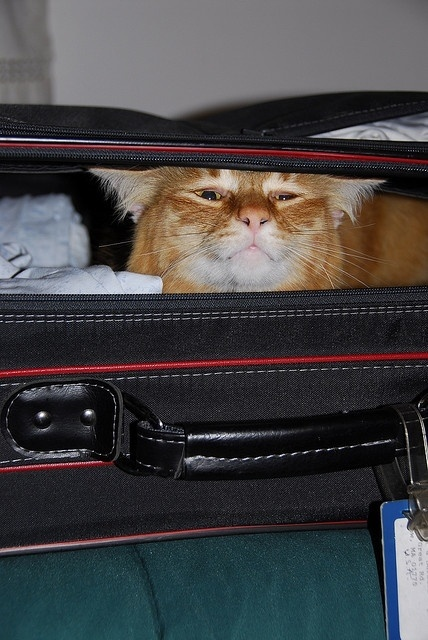 69 Best Cats Have Suitcase Will Travel Images On