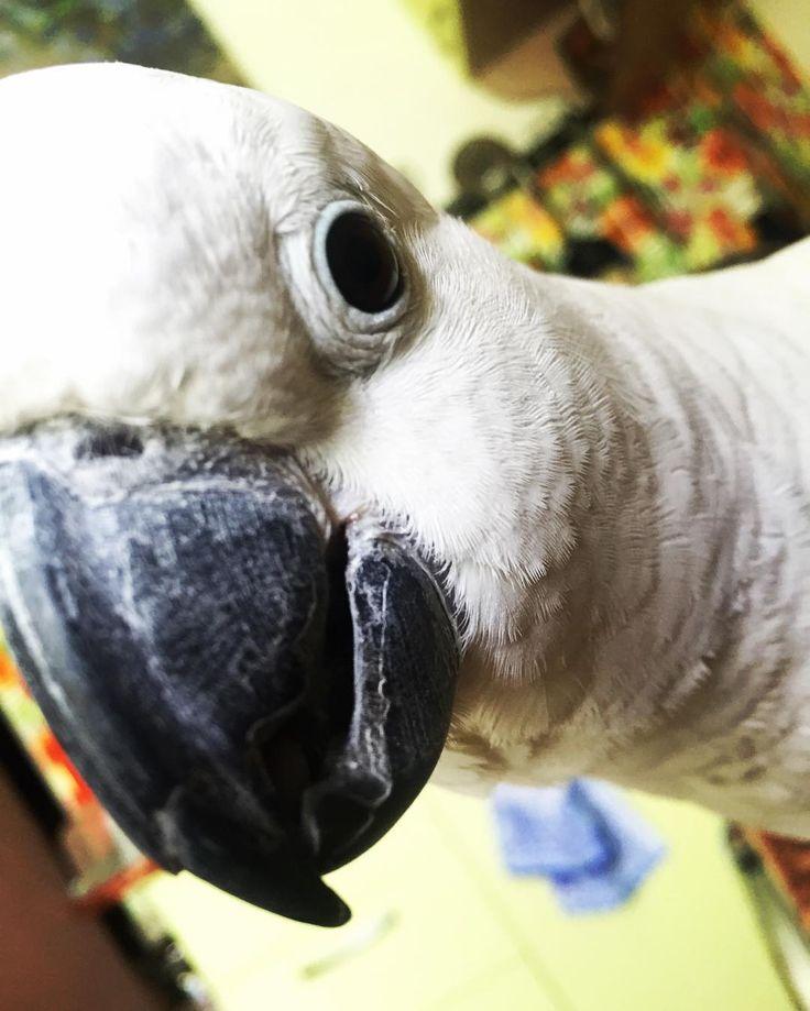 #MyLittleMonster  #какаду  #კაკადუ #鹦鹉 #είδοςψιττακού #papoušekkakadu #kakadu #นกกระตว #kakadua #parrot #pappagallo #попугаи #الببغاوات #თუთიყუში #鹦鹉 #παπαγάλοι #psittacis #นกแกว #papegojor #parrotsofinstagram #birdlife #bird #brazilianchic #pet #petstagram by ca_cat_ua http://www.australiaunwrapped.com/