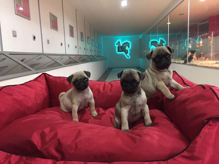 Satılık Pug ( Mops ) Yavruları