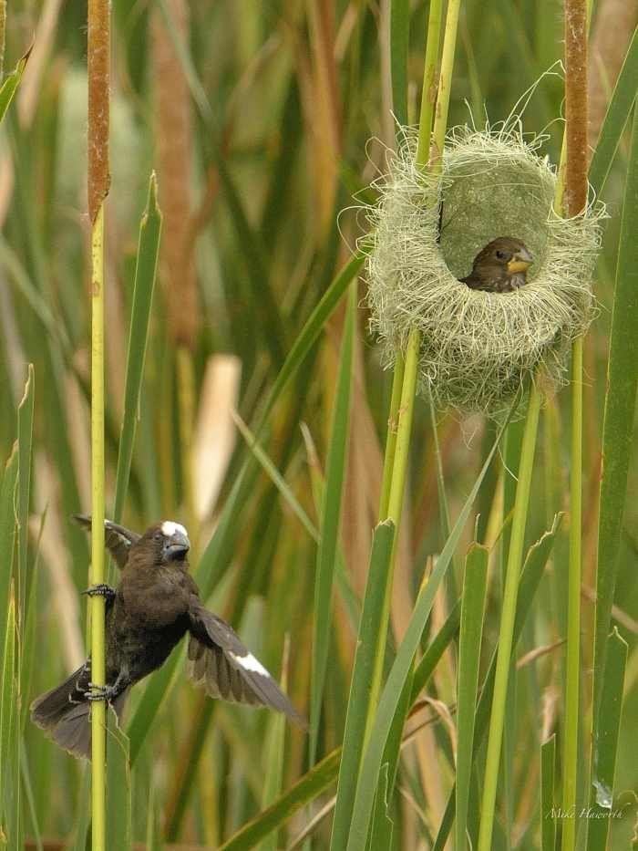 Weavers, Sparrow-Weavers and Buffalo-Weavers | Howie's Wildlife Images