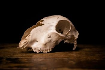 #Animal #skull on wooden surface #stilllife #animalskull #creepy #photography #creative #dark #classic #studio #photographystudio #purestock