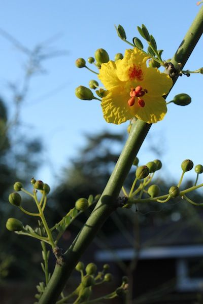 Desert Museum Palo Verde flower - excellent drought and pest resistance, full sun, plant in the fall.