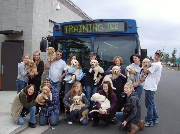 Puppies in training, Bergin Institute, Santa Rosa, CA
