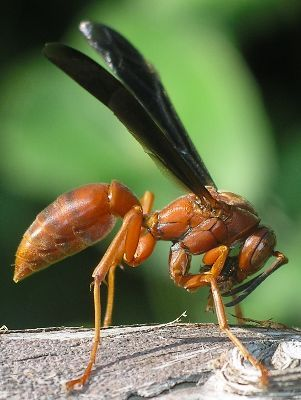 Red Wasps and Yellow Jackets!  Call A1 Bee Specialists in Bloomfield Hills, MI today at (248) 467-4849 to schedule an appointment if you've got a stinging insect problem around your house or place of business!